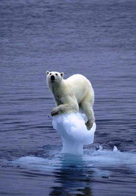 Derita beruang kutub akibat global warming.