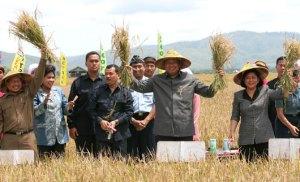 Presiden SBY & Ani Yudhoyono memulai panen raya di Pulau Buru. Jasa eks tapol mengubah rawa menjadi lahan subur